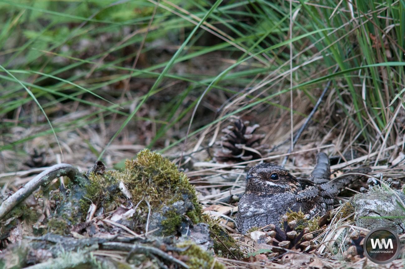 Nachtzwaluw 1