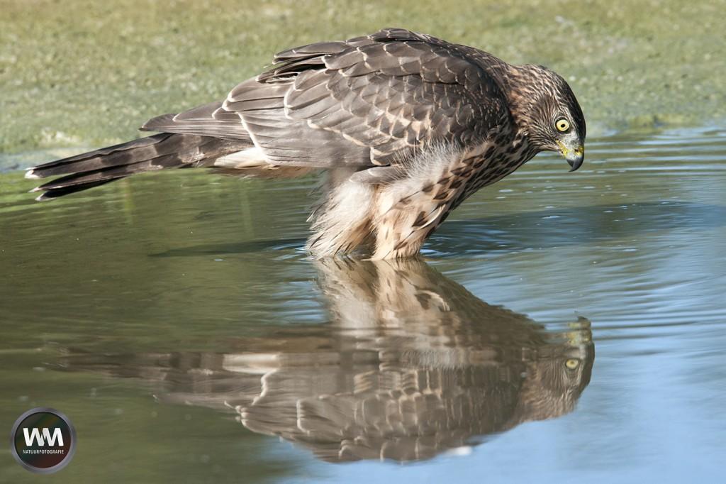 Havil spiegelbeeld