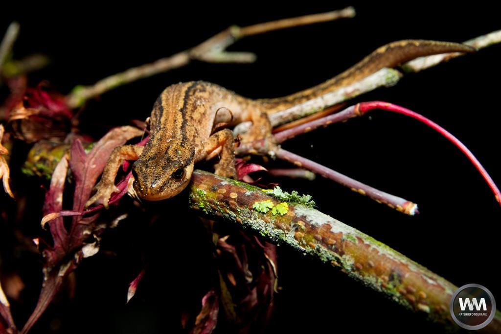 Salamander in de tuin