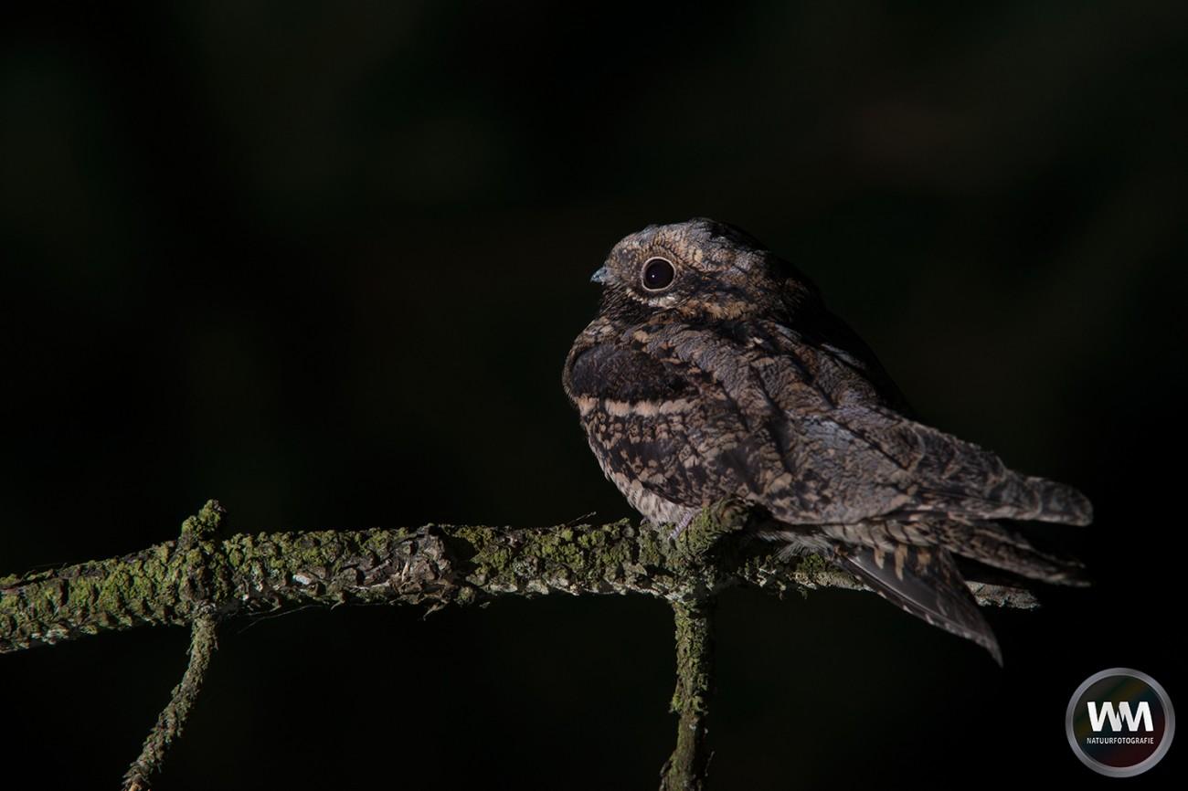 Nachtzwaluw 5
