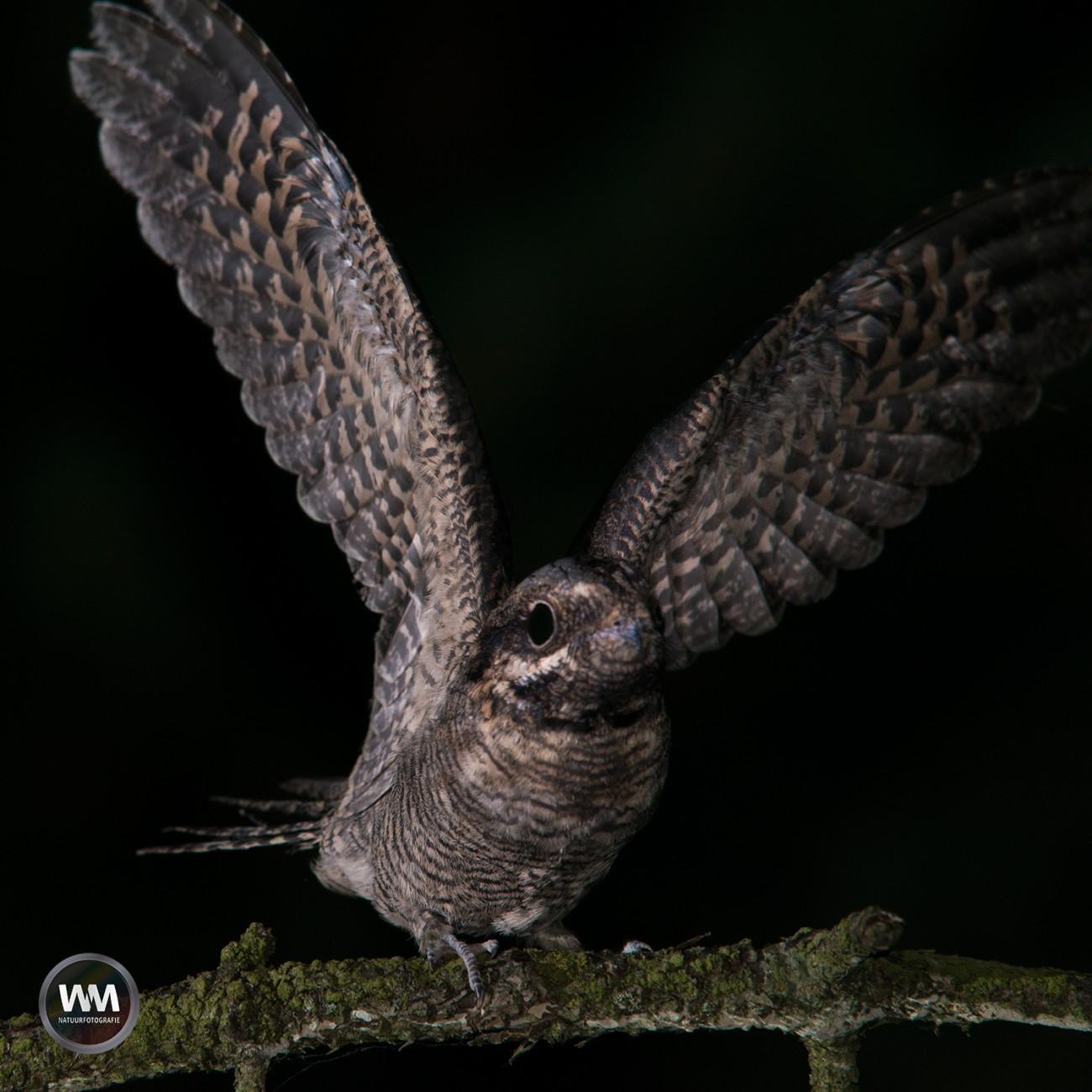 Nachtzwaluw 7