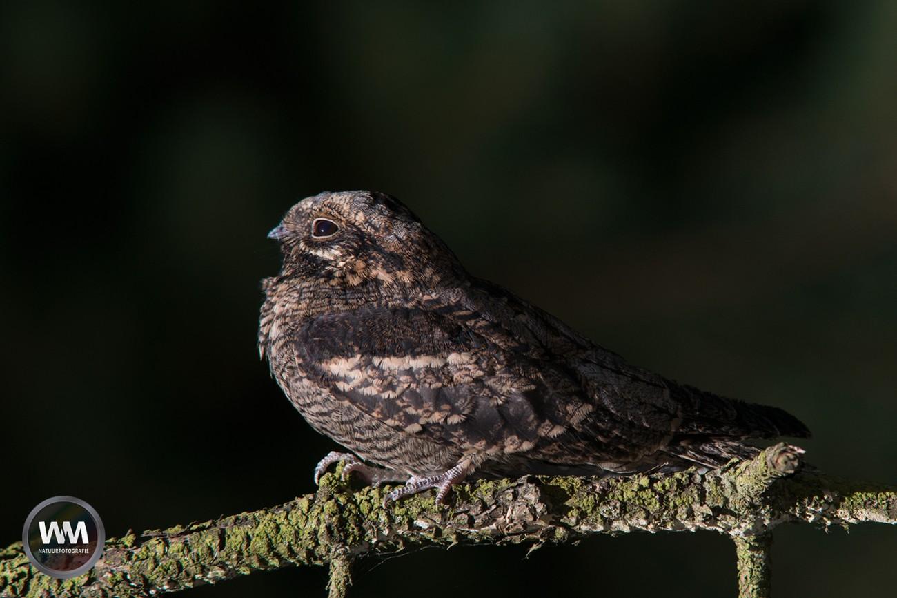 Nachtzwaluw6